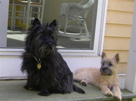 brindle cairn haircut gallery cairn terrier club of america
