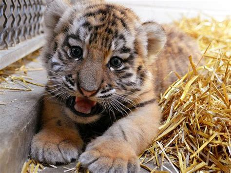 a sleeping tiger a novel of the breeds books indianapolis zoo hopes tiger birth may help conserve