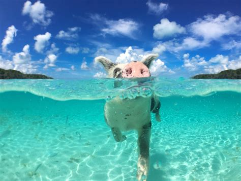 free bahamas pigs in the bahamas wallpapers high quality free