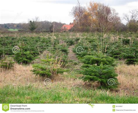 christmas tree plantation royalty free stock photography