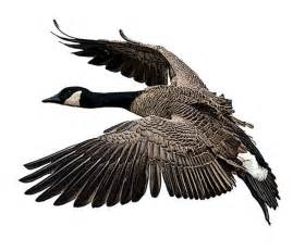 canada goose national bird project canadian geographic