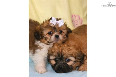 free shih tzu puppies in ohio shih tzu poo puppies for sale in ohio breeds picture