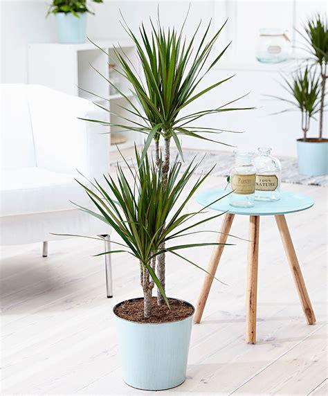buy house plants now yucca 2 trunks bakker com 100 dracaena marginata color dragon tree dracaena