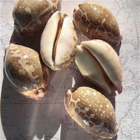 map cowrie shells seashells cypraea mappa shell