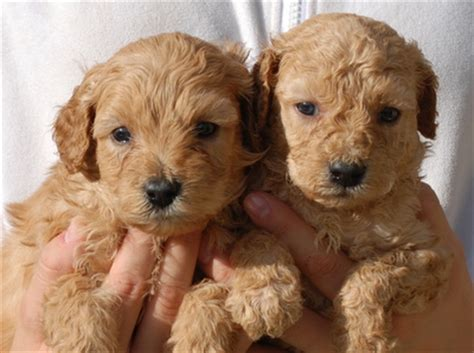 labradoodles puppies for sale sydney mini australian labradoodle puppies breeds picture