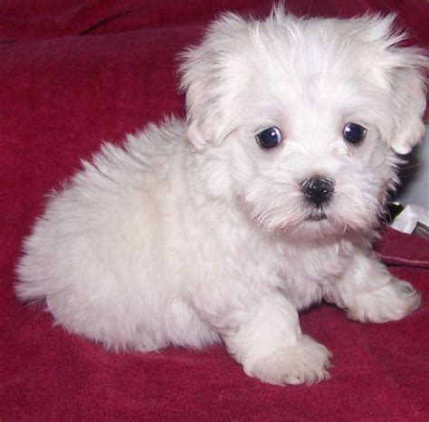 adopt a maltese puppy for free lover and a charmer maltese puppies for free adoption bethel ak asnclassifieds