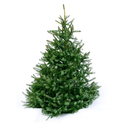 ge norway spruce 6 ft spruce real tree 6ft pines and needles
