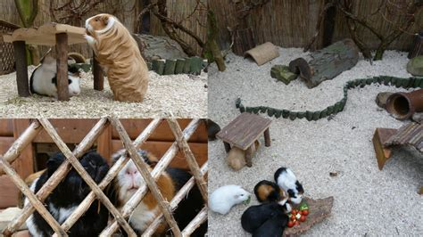 outdoor pig guinea pigs outdoors