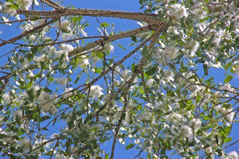 When Do Cottonwood Trees Shed cottonwood tree ready to shed by joealaska photo