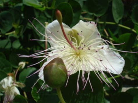 fiore di cappero ricetta fiore di cappero ostunipocket