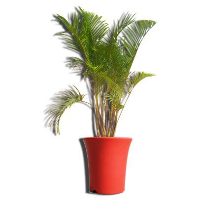 Tanaman Palem Komodoria Pohon Palem Komodoria Tanaman Bisa Indoor informasi macam macam jenis pohon palem untuk taman