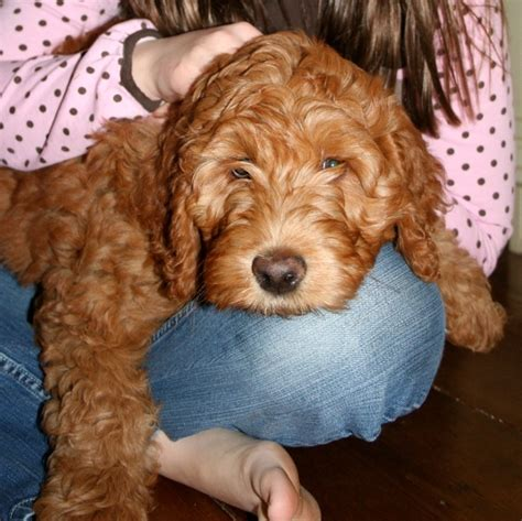 labradoodle puppies ma 43 best images about duxbury ma on plymouth monuments and poster