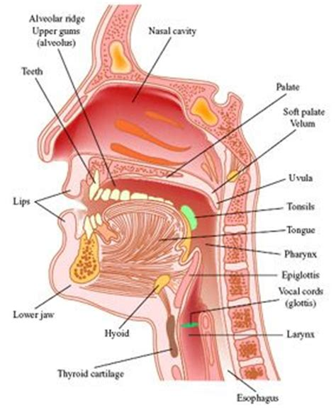 labeled diagram of and throat speech and language therapy and teaching on