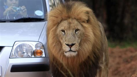 film editor killed by lion american woman killed by lion in s africa identified as