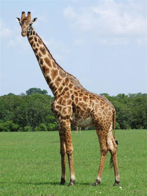 google images giraffe giraffe google search animal refs pinterest