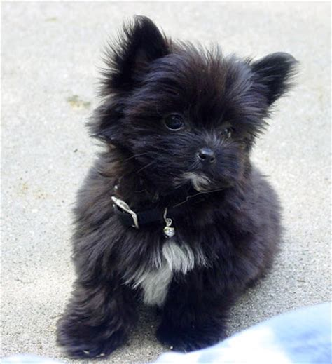 black morkie puppies cutest morkie breeds picture
