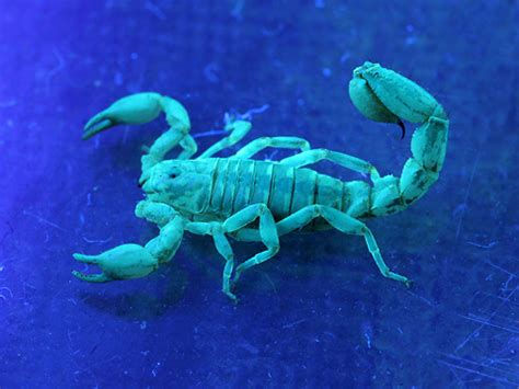 scorpion colors fluorescent scorpion in uv light the firefly forest