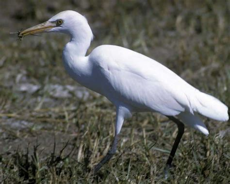 cattle egret audubon field guide