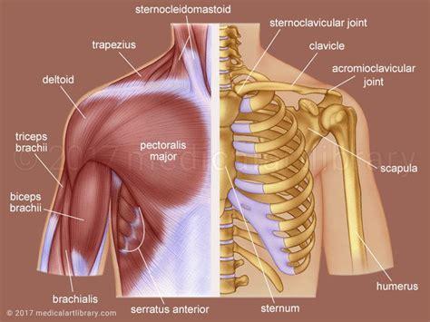 shoulder images shoulder anatomy library
