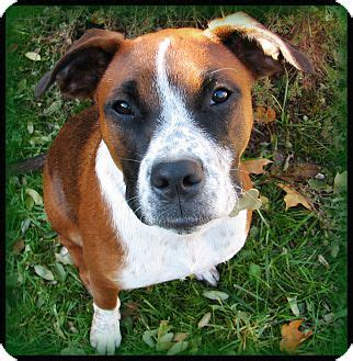 boxer puppies indianapolis dooney adopted indianapolis in boxer australian cattle mix