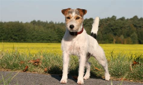 types of terrier dogs diffrent types of terrier dogs breeds pets world