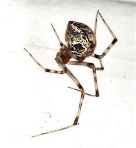 american house spider american house spider achaearanea tepidariorum