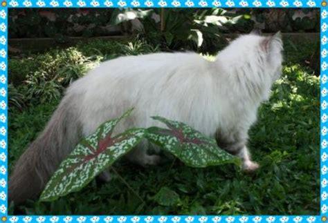 Kandang Kucing Cimahi jual kucing puclut