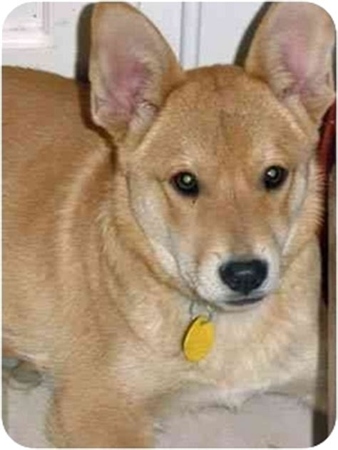 shiba inu puppies houston copper adopted puppy 122 houston tx shiba inu corgi mix