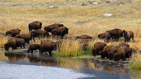 yellowstone national park animal photo yellowstone national park information facts tiverton