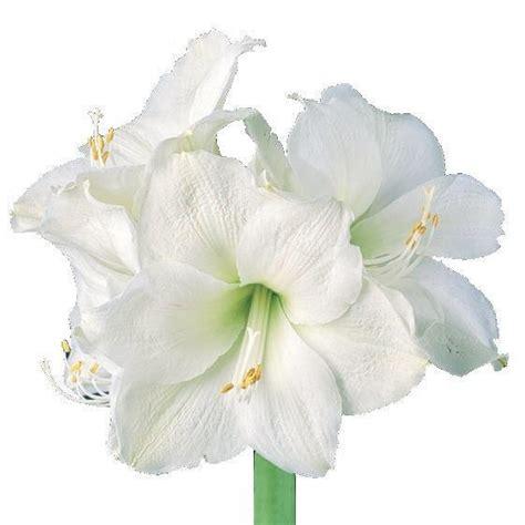 Lawn Care amaryllis amaryllis mont blanc huntersgardencentre com