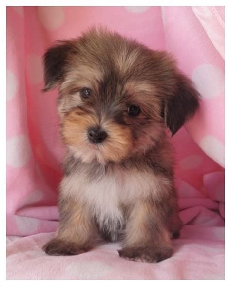 what is a morkie puppy 17 best images about teacup dogs on real puppys and teacup pomeranian