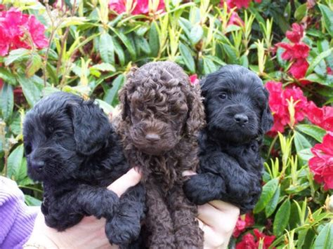 brown labradoodle puppy labradoodle puppies in brown and black