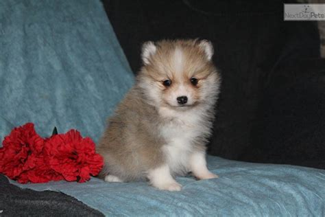 pomsky puppies for sale prices emmi pomsky puppy for sale near lancaster pennsylvania 6ff6c9fa 8951