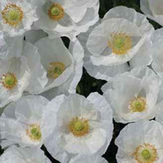 Jual Bibit Bunga Poppy jual aneka bibit bunga hias jual bibit bunga murah