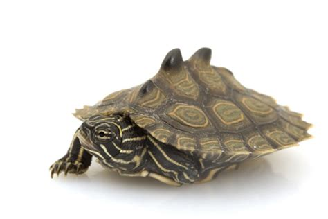 Black Knobbed Map Turtle For Sale black knobbed map turtle for sale reptiles for sale