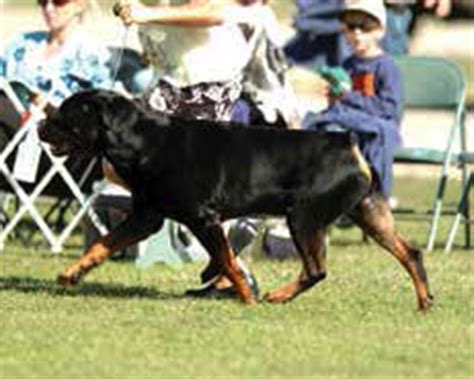 cammcastle rottweilers rottweiler reference your desktop encyclopedia thedogplace org