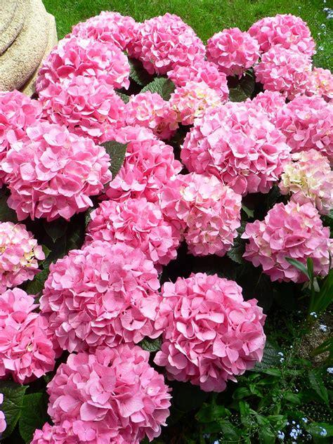 file hydrangea macrophylla bigleaf hydrangea1 jpg wikimedia commons