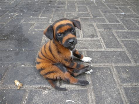tiger puppy develop new species panda hugh fox iii