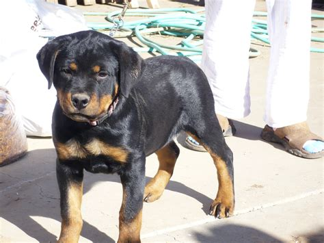 rottweiler puppies for sale in ohio rottweiler puppies sale ohio dogs in our photo