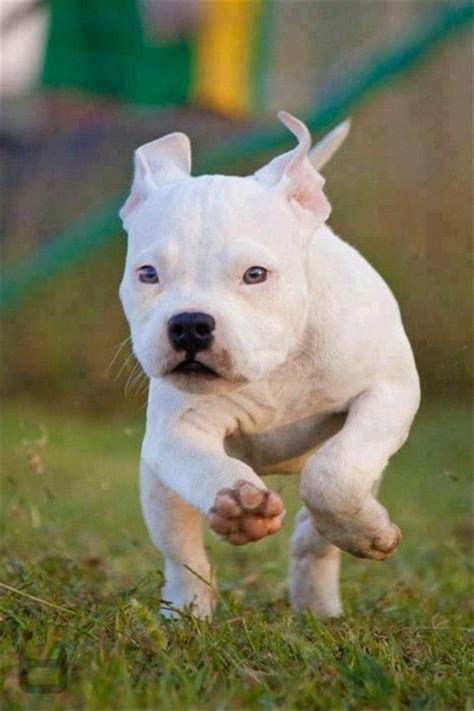 buy pitbull puppies best 25 pitbull puppies ideas on