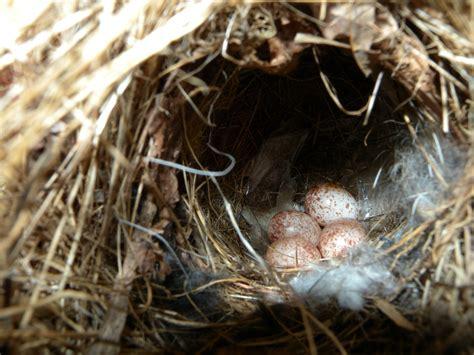 brown thrasher willistown conservation trust bird blog