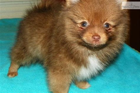 pomeranians for sale in maryland chocolate pomeranian puppies breeds picture