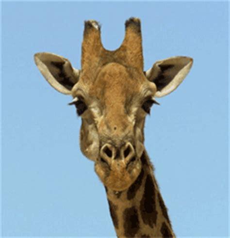 imagenes de jirafas tumblr gifs animados de jirafas gifmania