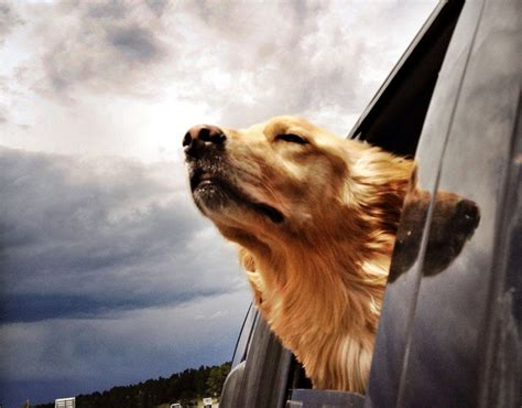 golden retriever instagram golden retriever in car posted on instagram 5 smartphone apps you couldn t live