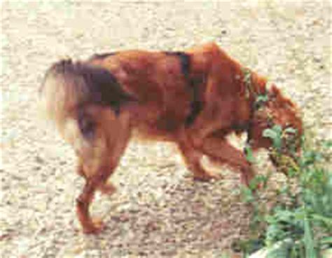 golden retriever skin color of two base colors somatic mutations