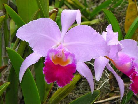 imagenes flores colombianas image gallery orquideas colombianas