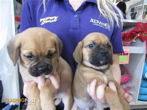 pugs brisbane pug x beagle puggle puppies at puppy shack brisbane for sale in brisbane qld pug x