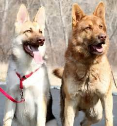 colors of german shepherds 36 dogs with the most beautiful and unique coat patterns
