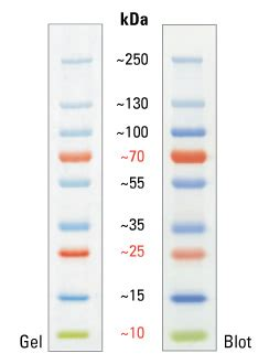 sinapse biotecnologia pageruler plus prestained protein