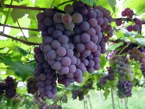 imagenes de uvas y pan definici 243 n de uva 187 concepto en definici 243 n abc